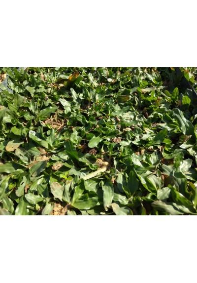 Pearl Grass Carpet / Karpet Rumput Mutiara / 珍珠草草皮 (1'*2' per Piece, 2 Square Feet / sqft)