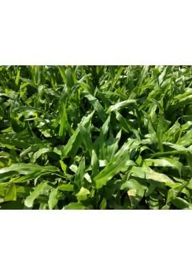 Grass Planting & Installation Service Cow Grass Carpet / Karpet Rumput Kerbau / 牛草草皮 (1'*2' per Piece, 2 Square Feet / sqft)