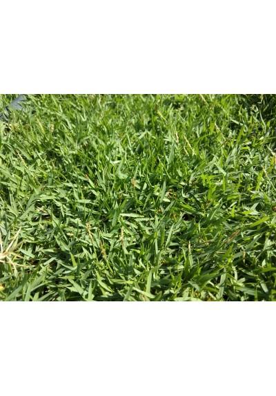 Grass Planting & Installation Service Philippine Grass Carpet / Karpet Rumput Filipina / 菲律宾草草皮 (1'*2' per Piece, 2 Square Feet)