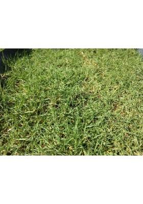 Grass Planting & Installation Service Japanese Grass Carpet / Karpet Rumput Jepun / 日本草草皮 (1'*2' per Piece, 2 sqft)