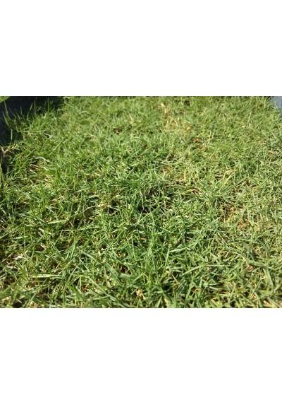 Japanese Grass Carpet / Karpet Rumput Jepun / 日本草草皮 (1'*2' per Piece, 2 Square Feet / sqft)
